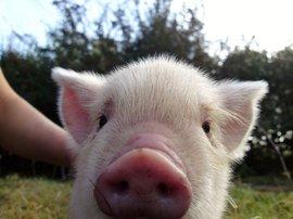 pig scratching its itc