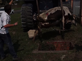 cow rescued