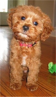 New Dog Breed Will Always Look Like A Puppy