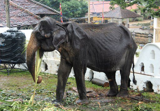 malnourished elephant