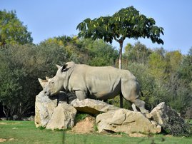 Sana, a female white rhino strolls through its enclosure at the La Planete Sauvage zoological park in Port-Saint-Pere, western France.