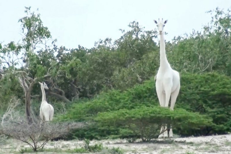 Poachers kill rare white giraffe
