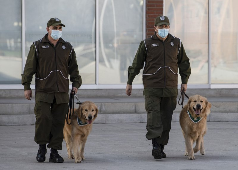 Members of the Chilean Police Canine Training team walk two Golden Retriever dogs before the beginning of their training session aimed to detect people infected with coronavirus COVID-19 during a presentation to the press, in Santiago, on July 14, 2020.