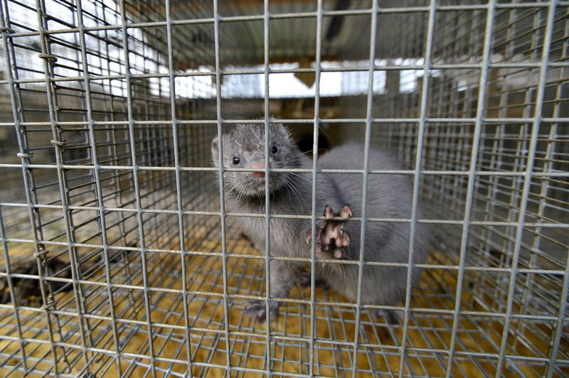A picture taken on April 28, 2015 shows a mink looking out from a cage at a mink farm near Stavropol.