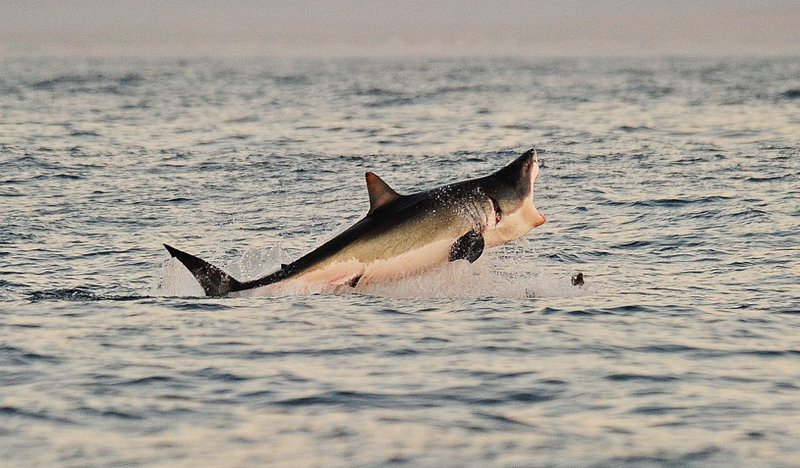 A Great White shark jumps out of the water as it hunts Cape fur seals near False Bay, on July 4, 2010.