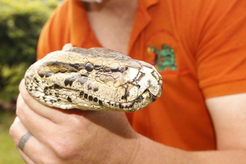 African python profile
