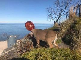 deer stuck in plastic container