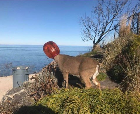 deer stuck in plastic container