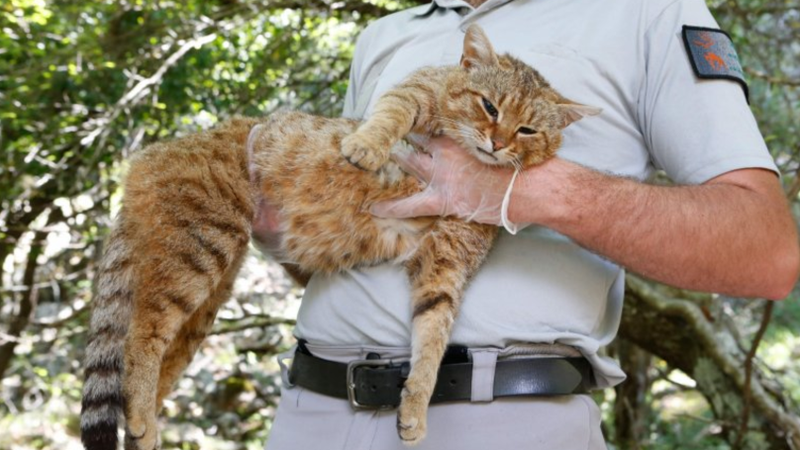 A New Cat Fox Species Discovered And It Is 90cm Long