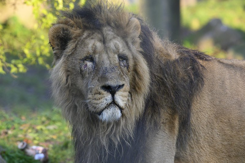 Lions in India test positive for COVID-19