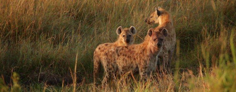 Female hyenas