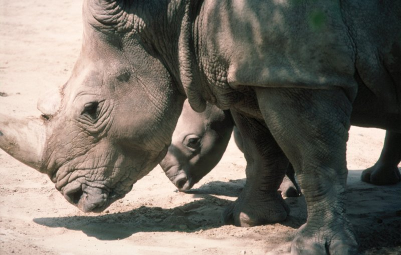 Rhino poaching dips slightly in South Africa - Newspaper