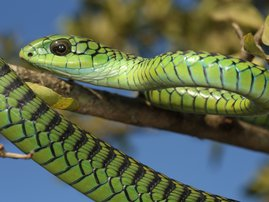 Boomslang male