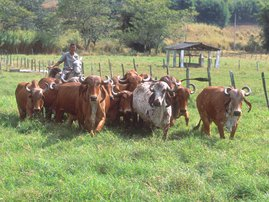 Cattle Brazil