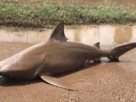 Bull Shark cyclone Australia