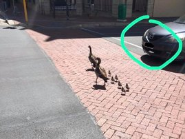 goslings at the traffic lights of Spin Street and Adderley Road
