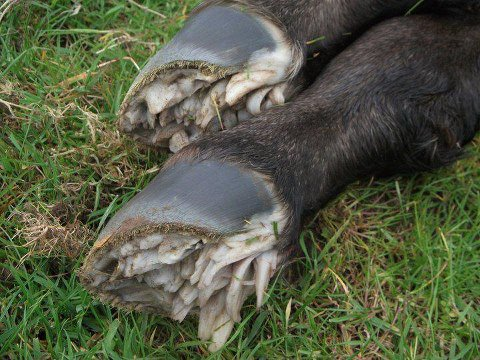 Newborn horse hooves