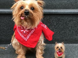 cocoa the yorkie