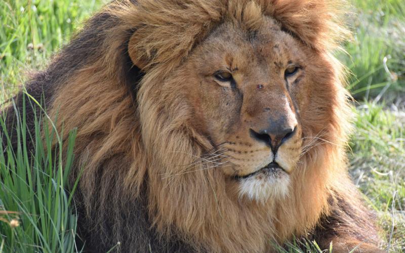 Ukraine lion rescue