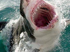 Great-White-Shark-1.jpg