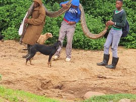 Pregnant python killed in Inanda