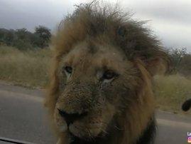 Latest Sightings lion