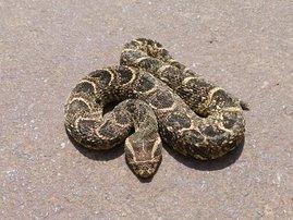 Snake rescue puff adder