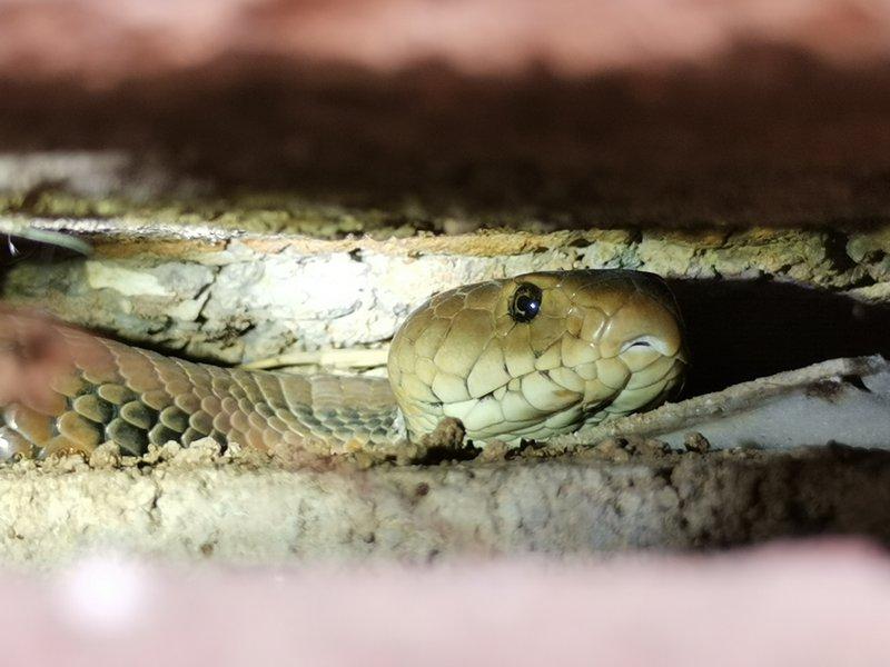 Snake Rescue's Mozambique Spitting Cobra