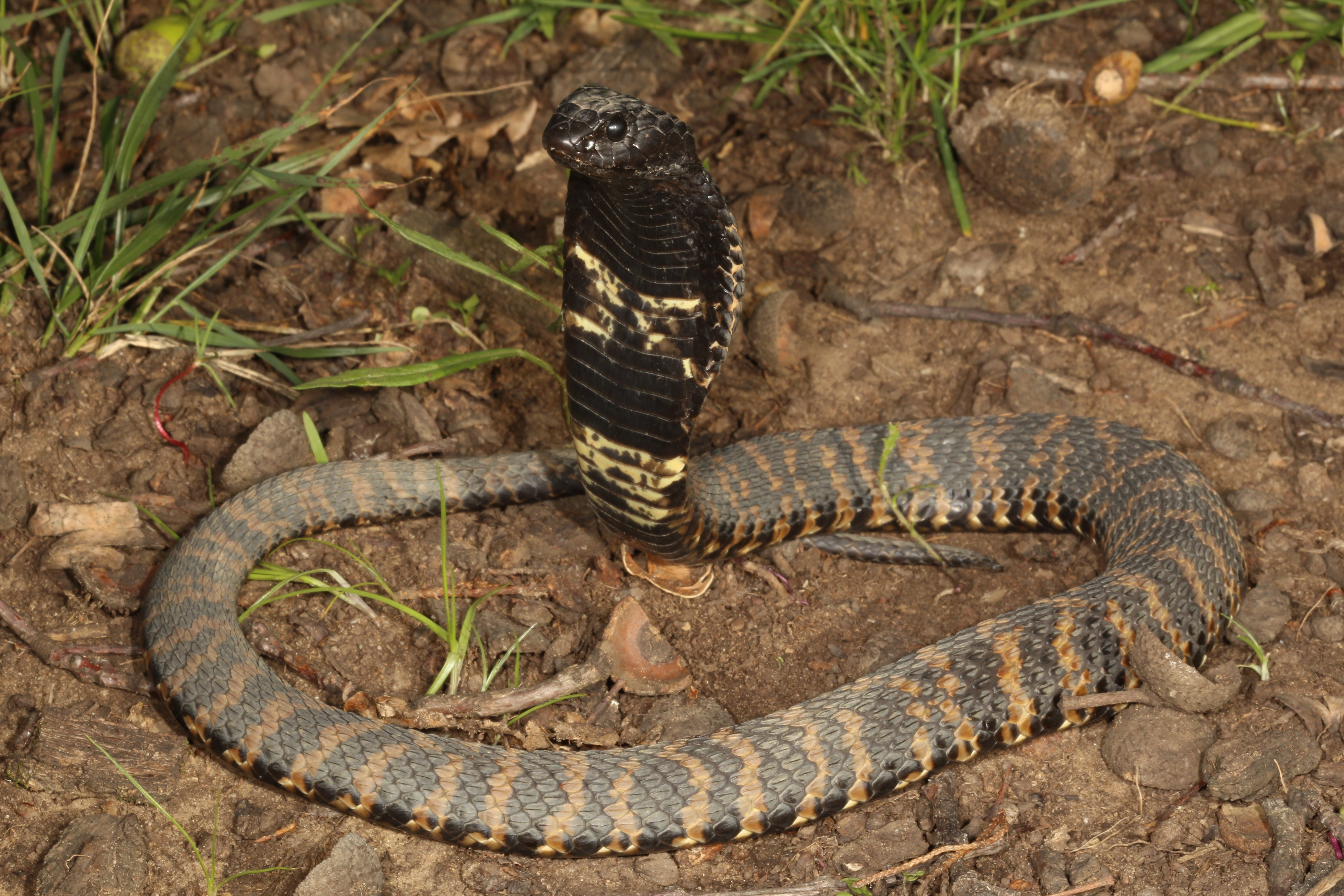 rinkhals snake