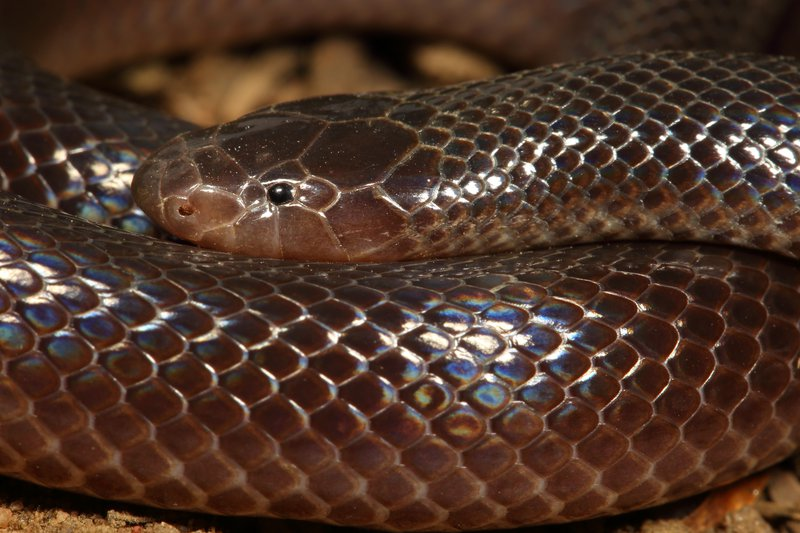 Stiletto snake