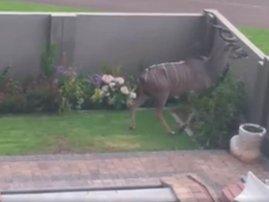 kudu image jump funny