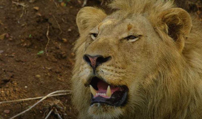 Lion panting