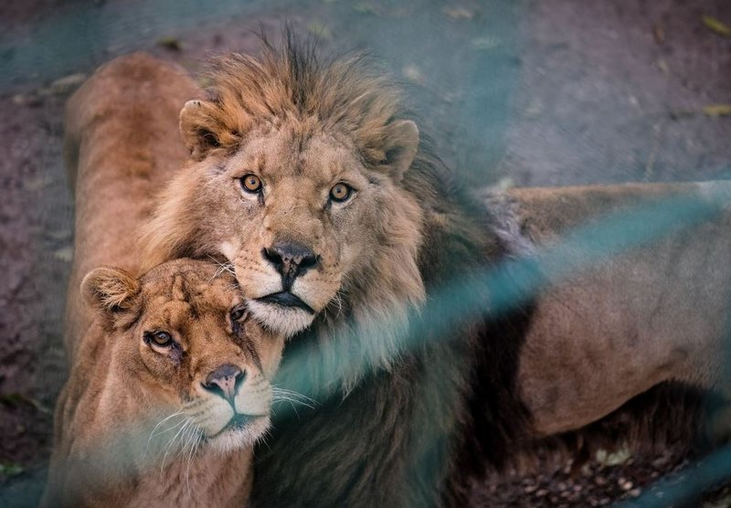Lions saved pictures