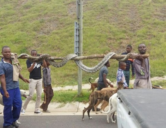 Python spotted on N2