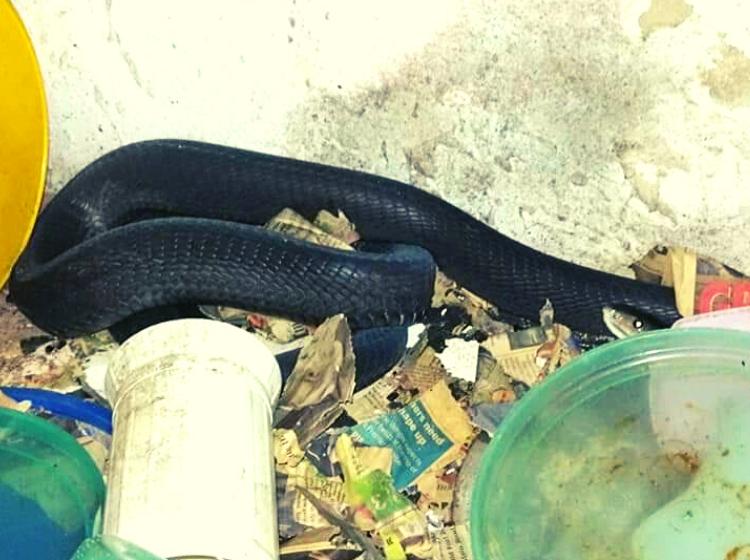 Rat in kitchen attracts huge black mamba