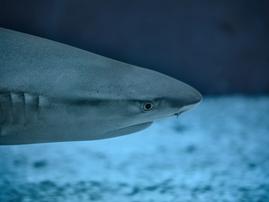 shark pexels