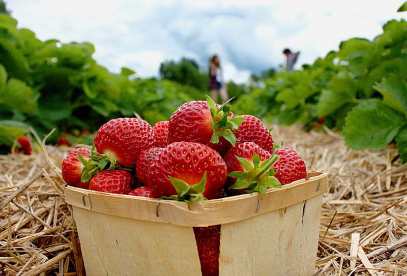 strawberry farm test