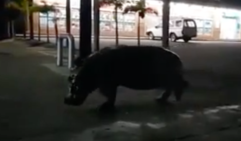 hippo st lucia