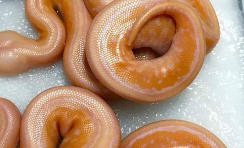 dougnuts snakes