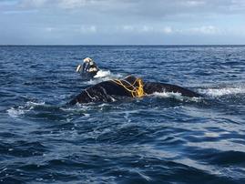 NSRI saves entangled whales