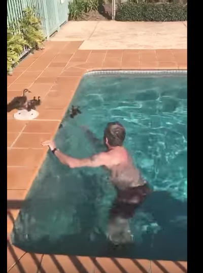 Man saves daring ducklings from drowning in pool for Pool man show