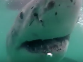 Great white shark gets a little too close to camera