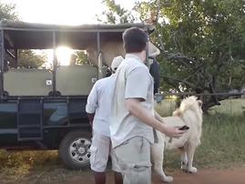 Lion jumps into safari vehicle