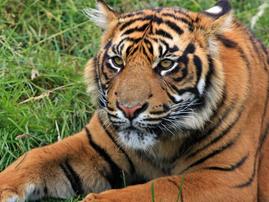 tiger wild animal prom