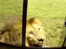 lion wildlife sighting youtube