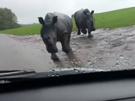Rhinos charge at car