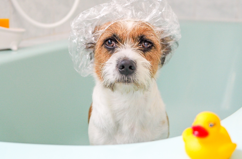 dog in a bath with showercap istock
