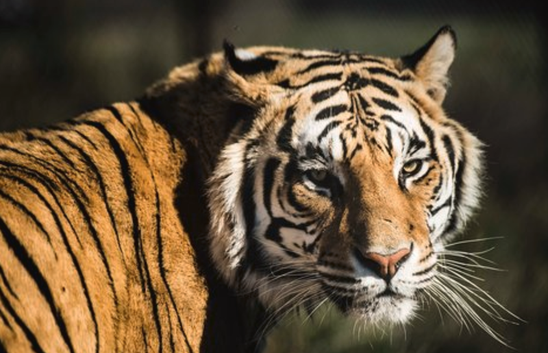 beautiful news tiger pic