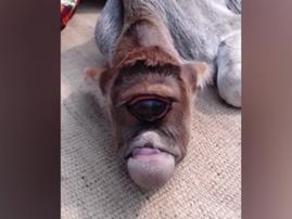 Calf born with one eye / YouTube