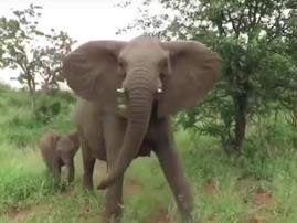 Elephant stampede at Kruger National Park / YouTube
